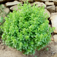 Basil Bush Ocimum minimum